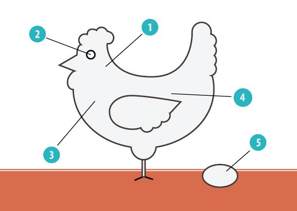 chickan-anatomy